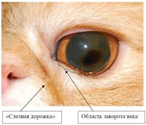 Рисунок 1. Слезотечение у персидской кошки, медиальный заворот век