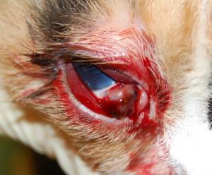 Рисунок 1. Травма глаза у кошки (стафилома склеры)