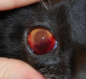 Рисунок 3. Гифема у кошки после проникающего ранения глаза иглой