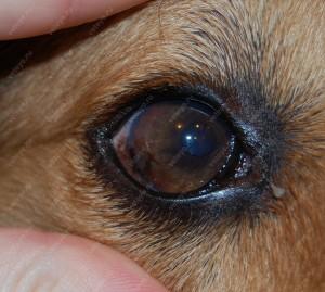 Остаточная пигментация латеральной части роговицы при паннусе у метиса овчарки, получающего лечение местными препаратами