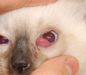 Пролапс слезной железы третьего века у котенка