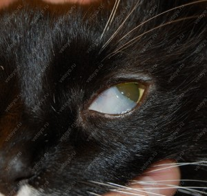 Протрузия (выступание) третьего века у кошки
