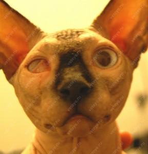 Синдром Хорнера у сфинкса (правый глаз)