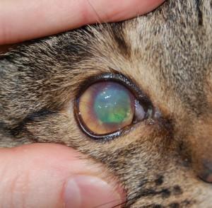 Рисунок 1. Сосудистый кератит, изъязвление роговицы у кошки