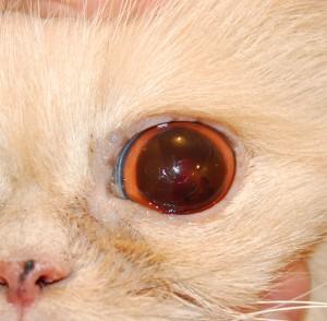 Рисунок 2. Кровоизлияние в переднюю камеру глаза у кошки при высоком артериальном давлении
