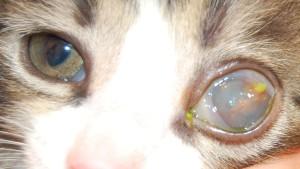 Рисунок 2. Последствия тяжелого герпесвирусного кератита у котенка