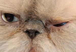 Рисунок 2. Слезотечение у кошки экзота