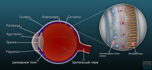 1. схема глазного яблока