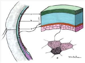 Рисунок 1.Схема слезной пленки (а-муциновый слой, б- водный, с-жировой)