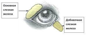 Рисунок 2. Схема слезных желез