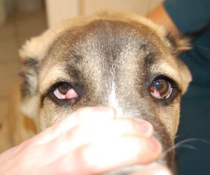 Рисунок 3. Двустороннее выпадение слезных желез у собаки