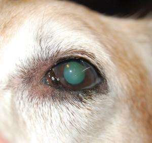 Рисунок 4. сухой кератоконъюнктивит левого глаза той же собаки, что на рисунке 3