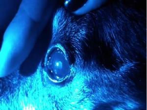 Рисунок 4. Нормальное сужение зрачка на синий