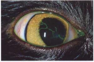 Рис.4. Эрозии роговицы у кошки при герпесвирусе, окрашенные флюоресцеином
