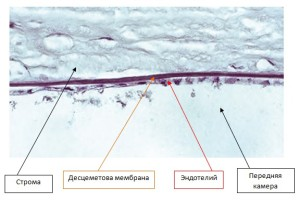 Рис.3. Десцеметова мембрана и эндотелий роговицы