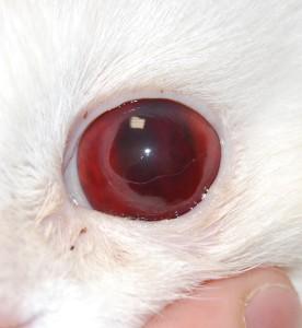 Рисунок 5. Гифема у кошки при системной артериальной гипретензии