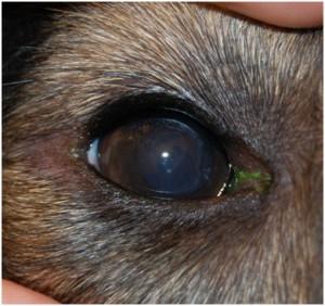 Рис. 8. Вид роговицы через 1 месяц после поверхностной кератэктомии
