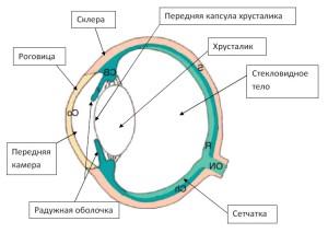 Рисунок 1. Схема глазного яблока