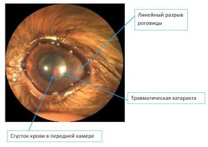 Рисунок 4. Травма кошачьим когтем у йорка, травматическая катаракта
