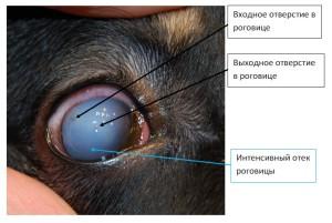 Рисунок 5. травма роговицы кошачьим когтем, отек роговицы